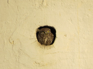 This blot on the wall is a Little Owl, meeting the dawn.