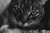 The Stare (Craperture91) Tags: black white monochrome fur whiskers nose eyes contrast dark light