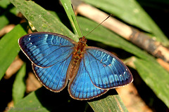 IMG_6039 Euriphene veronica (Raiwen) Tags: nymphalidae limenitidinae adoliadini euriphene euripheneveronica insect butterfly africa westafrica guinea guinéeforestière lowlandrainforest