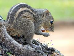 Indian Palm Squirrel (Meino NL) Tags: eekhoorn squirrel écureuil knaagdier palmsquirrel indianpalmsquirrel srilanka funambuluspalmarum