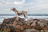 Dalmatian On The Rocks (lee dawe photography) Tags: dalmatian dog pet animal animalphotography exercise spotty beach rocks sea seaside mans best friend