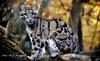 Nebelparder (hansjrgenknppel) Tags: nebelparder raubtier zoo duisburg germany deutschland nikon d 500 nikkor 70200mm