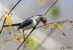 Perlita azulgris (Polioptila caerulea) (Adolfo Montes) Tags: perlitaazulgris polioptilacaerulea chamelacuixmala reservadelabiosferachamelacuixmala jalisco méxico canon6d aves birds