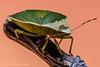 NEZARA VIRIDULA (juan carlos luna monfort) Tags: bicho bug chinche verde insecto naturaleza macro nikond7200 sigma1750 tubosdeextension calma paz tranquilidad