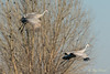 The Glide – 1 of 5 (Roy Prasad) Tags: glide gliding glider crane bird migration migrating sandhill prasad royprasad lodi california travel water nature sony a7rm3