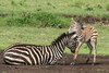 Zebra Mother and New Foal (Gordon Magee) Tags: africa commonzebraequusquagga tanzania foal ngorongorocrater