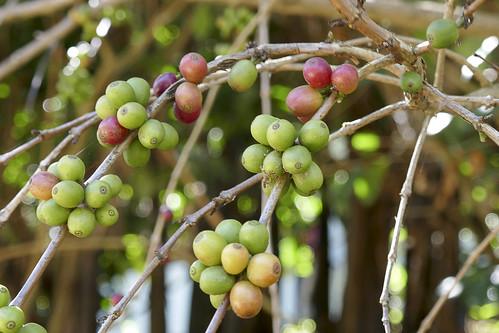 Thailand-Chiang Mai-Coffe platation-P1070742