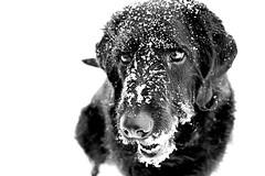 His Wild Side (SkyeHar) Tags: dog hund chien perro bw monochrome bokeh dof detail nose eyes snow winter invierno hiver dogs noiretblanc nieve schnee blackandwhite blackwhite sonya6300 sel30m35 weather light shadow contrast neige