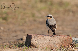 Wheatear In Spring