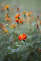Septiembre (miratumismo) Tags: 2014 44m 582 5dmk2 cerdanya helios helios44m m42 martinet flora flor naturaleza bokeh