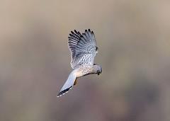 Kestrel (gillybooze (David)) Tags: teleconverter14 ©allrightsreserved bird kestrel birdwatcher bokeh outdoor dof wings inflight feathers wild 600mmf4