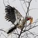 Hornbill spreading its wings