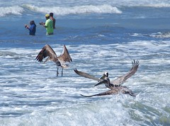 P2220100 (davidpetergibbins) Tags: pelican pelicans anglers fishermen