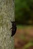 ニセノコギリカミキリ (Prionus sejunctus) (Hachimaki123) Tags: 見稲荷大社 fushimiinaritaisha 日本 japan 京都 kyoto 虫 動物 animal insect insecto coleóptero coleopter coleopteran coleoptero ニセノコギリカミキリ prionussejunctus
