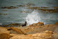 Making a Splash (Jocey K) Tags: newzealand nikond750 southisland shagpoint matakaea southpacificsea seals rocks wave furseals seascape wavewornmudstones bullkelp giantbladderkelp