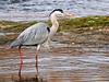Garza real (Ardea cinerea) (29) (eb3alfmiguel) Tags: aves zancudas ciconiiformes ardeidae garza real ardea cinerea