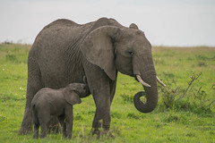Baby Elephant Nursing - Explored (Gordon Magee) Tags: africa africanelephantloxodontaafricana kenya juvenile masaimara