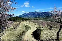 landscape and almond-trees (atsjebosma) Tags: almondtrees amandelbomen pink rose mountains path pad bergen atsjebosma februari 2018 spain spanje blossom bloesem