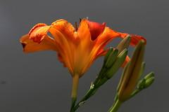 Storia (lincerosso) Tags: fiori flowers giglioturco hemerocallisfulva caucaso introduzionifloristiche specienaturalizzate colorearancione bellezza armonia eleganza giardino estate