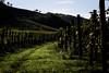 Vineyard (Strocchi) Tags: vineyard vigneto landscape paesaggio grapes uva wine vino canon eos6d 24105mm