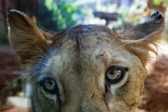 big cat | loro parque | tenerife (John FotoHouse) Tags: lioness lion 2018 loroparque zoo animals puertodelacruz tenerife dolan flickr fujifilmx100s fuji johnfotohouse johndolan leedsflickrgroup copyrightjdolan color colour