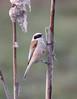 Penduline tit (roger_forster) Tags: remizpendulinus pendulinetit plockcourt gloucester gloucestershire wild bird rare rarity
