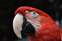 Red Macaw (Laura Cooper94) Tags: macaw red parrot bird feather nikon d3300 amateur leicester beak