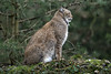 Luchs (Michael Döring) Tags: gelsenkirchen bismarck zoomerlebniswelt zoo luchs lynx afs60mm40e d850 michaeldöring