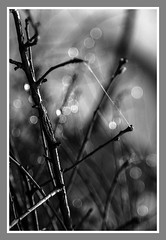 Connection (Jo Evans1- On and off for a while - really busy!) Tags: mono bokeh thursday hmbt connection twigs spider web gossamer water droplets