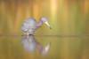 Water Softener (gseloff) Tags: littleblueheron bird feeding nature wildlife animal water reflection bayou horsepenbayou pasadena texas kayak gseloff