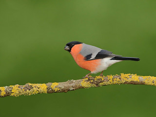 Male Bull Finch photographed in my garden this morning.