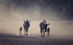 En route (therealthings.com) Tags: wildebeest bluewildebeest connochaetestaurinus dust kalahari kgalagadi ktp kgalagaditransfrontierpark nature wildlife newborns calf calves horns gnu gnus southafrica africa africanwildlife canon canon1dxmarkii 1dxii