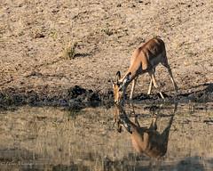 Impala (mayekarulhas) Tags: krugerpark mpumalanga southafrica za impala wildlife wild animal canon herbivore africa