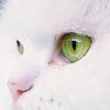 Dana (japankatze) Tags: katze perser cats weis white augen eyes