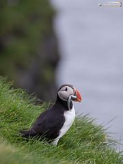 Lundi (dieLeuchtturms) Tags: lunde alkenvögel ingólfshöfði europa austurland island 3x4 wirbeltiere regenpfeiferartige skeiðarársandur papageitaucher europe fraterculaarctica iceland puffin is