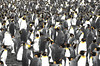 King penguins (Giuseppe Suaria) Tags: baiedumarin crozetarchipelago king penguin penguins crozet ace antarctica antarctic antartide circumnavigation expedition pinguini aptenodyptes patagonicus