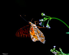 The Lean Back (that_damn_duck) Tags: insect butterfly flower nature bug