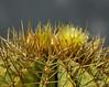 Ferocactus glaucescens (ecos de pedra) Tags: ferocactus