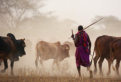 Cattle on the way back to a Masaï village - South Rift Valley - Kenya (lotusblancphotography) Tags: africa afrique travel voyage kenya masaï cattle dust sunset poussière betail animal homme men