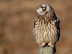 """""""Yup, the sky might fall...."""" (Paridae) Tags: asioflammeus familystrigidae featheredfriends shortearedowl afewofmyfavouritethings canon500mm"""
