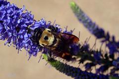 back ... to work (mariola aga) Tags: chicagobotanicgarden glencoe garden plant flower bee bumblebee macro closeup coth alittlebeauty coth5
