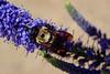 back ... to work (mariola aga) Tags: chicagobotanicgarden glencoe garden plant flower bee bumblebee macro closeup coth alittlebeauty coth5 goldwildlife