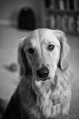 Rubye (fallsroad) Tags: dog servicedog serviceanimal assistancedog assistanceanimal seizureresponsedog epilepsy goldenretriever rubye canine retriever blackandwhite bw monochrome portrait