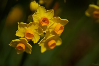 キズイセン Narcissus