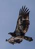Overhead (EHPett) Tags: riverquest connecticutriver connecticutwildlife bird animal baldeagle juevinile raptor