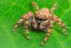 Jumping Spider on leaf (hannes89) Tags: spider insect