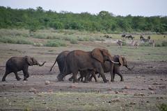 en marche!! Afrique du sud_4429 (ichauvel) Tags: éléphants troupeau mamiphéres faune fauna animauxsauvages wildeanimals savane nature parckruger krugerpark mpumalanga afriquedusud southafrica voyage travel exterieur outside zébres zebras pointdeau janvier january