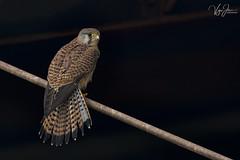 Common Kestrel (V I J U) Tags: 2017 birding birds canon5d ef500mmf4lisii nature qatar vijujose wildlife commonkestrel raptors birdofprey