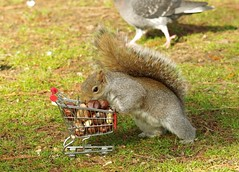 Squirrel with shopping cart (7) (Simon Dell Photography) Tags: winter spring grey animal nature together wildlife sheffield botanical gardens simon dell photography 2018 feb 24 with trolley shopping cart cute funny awesome mini micro full nuts