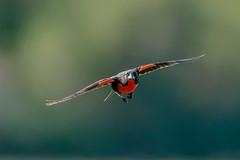 Superjet - Pecho colorado volando (Jose Lozada Naturaleza (Argentina)) Tags: pecho colorado cordoba argentina ave salvaje wild bird